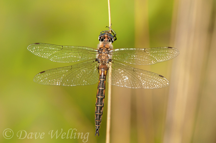310880013 a wild male dot-winged baskettail dragonfly epitheca petechialis near caddo lake in marion county texas