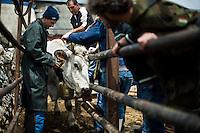 I mandriani preparano le mucche per la transumanza che le condurrà attraverso il percorso del tratturo, dalla puglia alle montagne di Frosolone in Molise..Cowboys lead the Colantuono family's herd along the road as they venture toward a cooler climate.