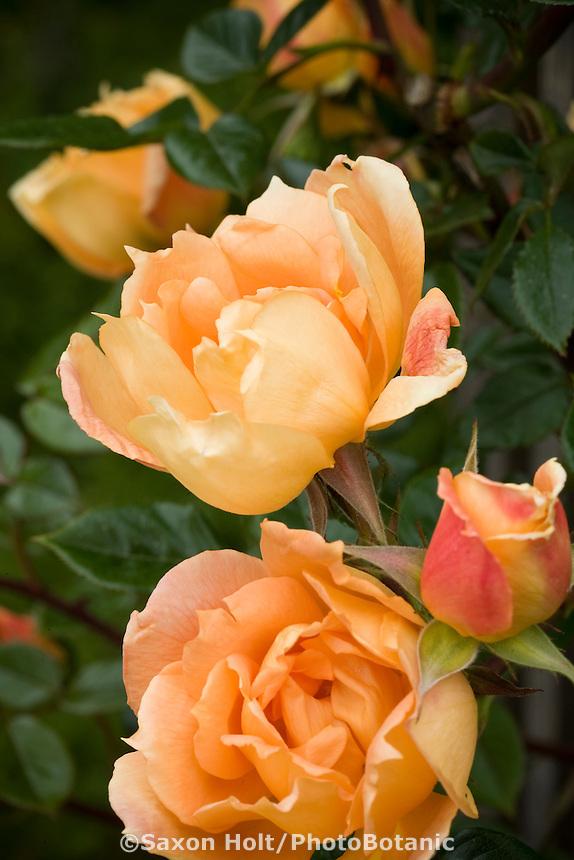 Rose 'Autumn Sunset' (climbing) flowers in garden.