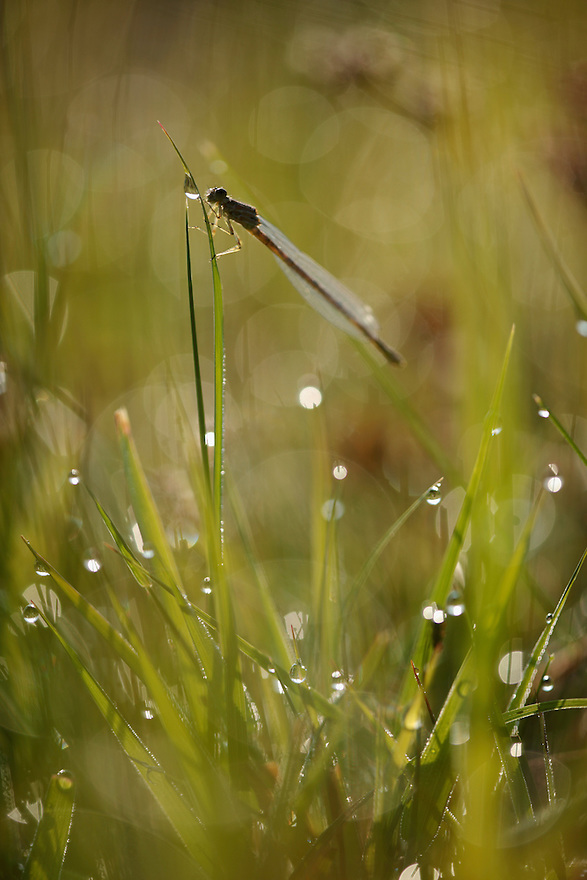 Damselfly (Calopteryx) basks in early morning sun. Stenje region, Lake Macro Prespa (850m) <br /> Galicica National Park, Macedonia, June 2009<br /> Mission: Macedonia, Lake Macro Prespa /  Lake Ohrid, Transnational Park<br /> David Maitland / Wild Wonders of Europe