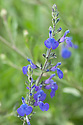 Salvia greggii 'Blue Note', early July.