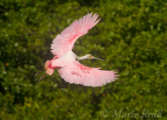 Roseate Spoonbill (Ajaia ajaja) adult with outspread wings, banking in flight as it prepares to land in its mangrove rookery, Tampa Bay, Florida, USA
