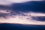 Tundra swans in flight, Pungo Unit