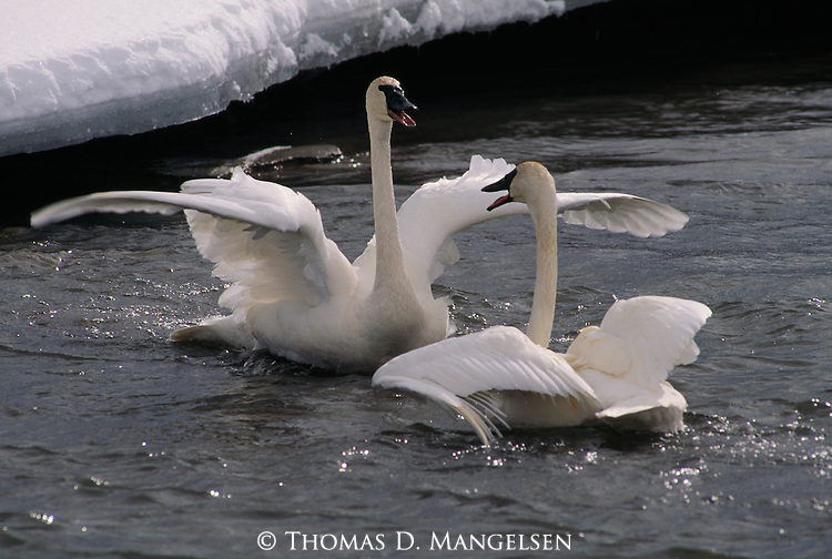Pair of trumpeter swans swimming on water