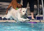 Tory and Piper play at the 10th annual Pooch Plunge at the Carson City Aquatics Center, in Carson City, Nev., on Saturday, Sept. 22, 2018. The event is a fundraiser for the Carson Animal Services Initiative which supports Nevada Humane Society services in Carson City.<br />