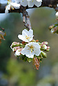 Blossom of sweet cherry 'Summer Sun', late April.