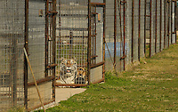 NWA Democrat-Gazette/BEN GOFF @NWABENGOFF<br /> A tiger relaxes in it's habitat on Thursday March 3, 2016 in the Rescue Ridge addition at Turpentine Creek Wildlife Refuge in Eureka Springs.