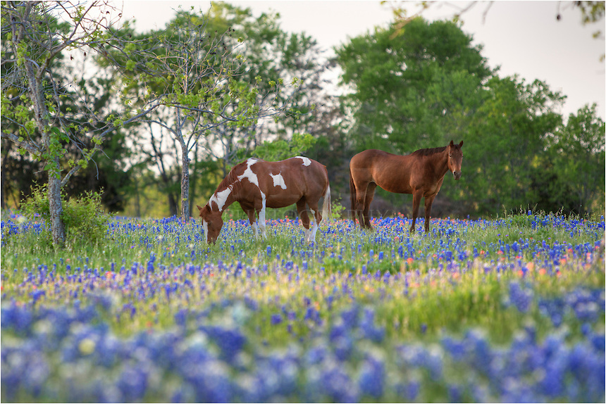 I was hoping to find wildflowers near Ennis, Texas, and was fortunate to find lots of color, as well as these stately creatures enjoying an evening amongst the bluebonnets. I used a telephoto lens to capture this scene, and the horses seemed uncaring about my presence.