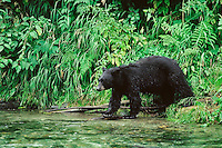 Black Bear (Ursus americanus) looking for food along small coastal stream, Pacific Northwest.
