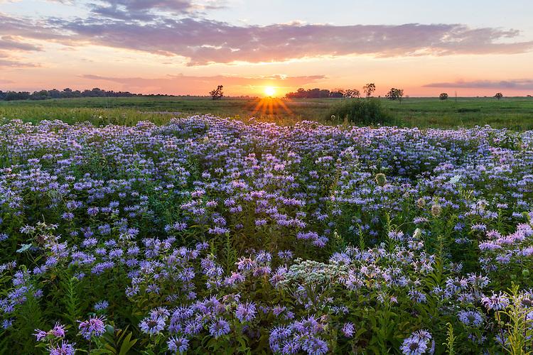 Bergamot (Monarda fistulosa) in bloom in summer at sunset in Springbrook Prairie; DuPage County, IL