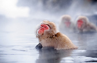 Japanese macaque, or snow monkey, Macaca fuscata, adults, taking a bath in hot spring, Hokkaido, Japan