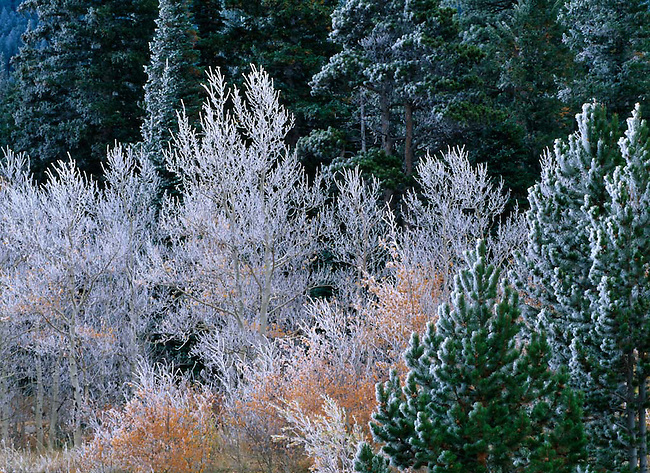 Frosted aspen trees (Populus tremuloides) and conifers during fall in Rocky Mountains, Colorado