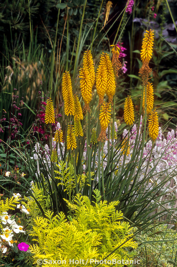 Kniphofia uvaria 'Sunningdale Yellow' flowering in garden