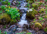 Marsh Marigolds grow in abundance by many small brooks that feed Otter Creek in Baxter's Hollow State Natureal Area in Sauk County, Wisconsin
