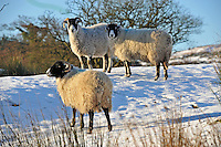 Swaledale ewe in the snow, Whitewell, Lancashire...Copyright..John Eveson, Dinkling Green Farm, Whitewell, Clitheroe, Lancashire. BB7 3BN.01995 61280. 07973 482705.j.r.eveson@btinternet.com.www.johneveson.com