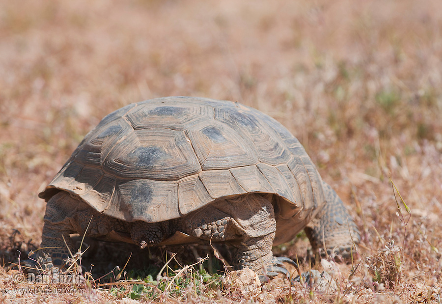 Rear view of a female desert tortoise, Gopherus agassizi. State- and Federally-listed Threatened Species. Desert Tortoise Natural Area, Mojave Desert, California.