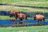 LAMAR VALLEY- YELLOWSTONE