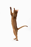 Abyssinian Cat, 9 months old, Male, Sorrell colour - Cat standing on hind legs