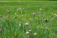Clustered Bonnet toadstools in a grass field, Cheshire.