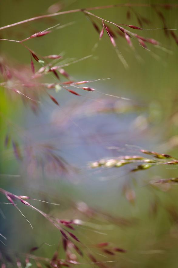 Cornflower, Centaurea cyanus, and oat grass.<br /> Lagadin region. Lake Ohrid (693m).<br /> Galicica National Park, Macedonia, June 2009<br /> Mission: Macedonia, Lake Macro Prespa /  Lake Ohrid, Transnational Park<br /> David Maitland / Wild Wonders of Europe
