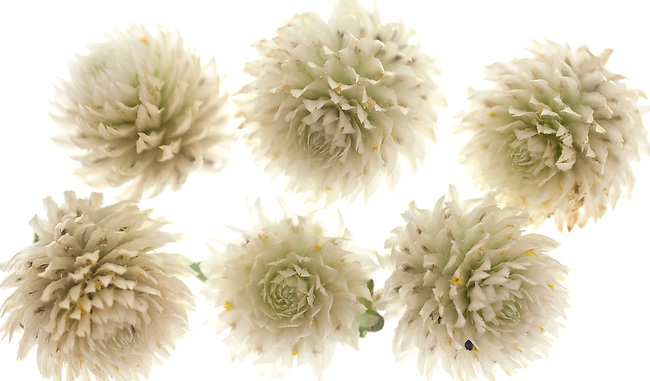 A composition of white thistle buds, close-up