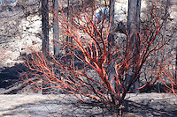 Scorched manzanita tree keeps its red bark after the Mountain Center Fire. July 23, 2013.