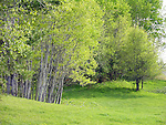 Springtime Birches in Meadow, New Hampshire