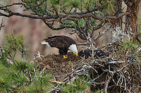Bald Eagle Nest (Haliaeetus leucocephalus)--adult spreading new nesting material around in nest with two 5 to 6 week old eaglets in tall ponderosa pine tree.  Oregon.  May.  See photos # K1A3785, 3784, 3782, 3776, 3775, 3773 and 3769 where eagle is returning to nest with a load of nesting material.