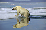 A Polar Bear climbs out of the cold arctic water onto the ice.
