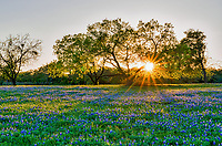 Bluebonnet and Mesquite Sunset - Bluebonnets are the most photographed wildflower in the Texas Hill Country.  Theres a reason they are so special even our Legislature felt the need to declare the bluebonnet or Lupine the state flower of texas.  In this image we were able to capture the sun rays through the mesquite tree over this field of bluebonnet wildflowers in the Texas Hill Country  for a scenic landscape.  The Texas bluebonnet or lupine were declared the state flower by the Texas legislature in 1971 that along with the Lady Bird Johnson Highway Beautification Act have helped the wildflowers in the southwestern United State become a favorite thing to see every spring. People come from all over to see them and enjoy these wonderful wildflowers.