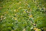 Photo shows a field of hakusai cabbages growing at Mitsuo Sugawara's farm in Higashi-Matsushima, Miyagi Prefecture, Japan n 30 Nov. 2011.Photographer: Robert Gilhooly