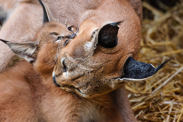 "Caracal (Caracal caracal) mom with young kitten.  The word ""Caracal"" comes from the Turkish word ""karakulak"" which means ""black ear.""  Found in Africa through Central Asia and India."