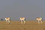 Indian wild asses (Equus hemionus khur) crossing vast dry clay pan; pan is flooded during monsoon<br /> The Indian wild ass's range once extended from western India, through Sind and Baluchistan, Afghanistan, and south-eastern Iran. Today, its last refuge lies in the little Rann of Kutch and its surrounding areas of the Greater Rann of Kutch in the Gujarat province.