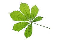 Gewöhnliche Rosskastanie, Ross-Kastanie, Kastanie, Aesculus hippocastanum, Horse Chestnut, horse-chestnut, conker tree, Le marronnier commun, marronnier d'Inde, marronnier blanc. Blatt, Blätter, leaf, leaves