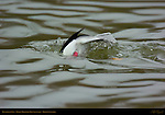 Bufflehead Dive, Goldeneye, Reifel Migratory Bird Sanctuary, British Columbia, Canada