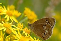 Koevinkje (Aphantopus hyperantus)