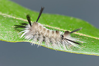 A Banded Tussock Moth (Halysidota tessellaris) caterpillar perches on a leaf.