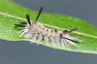 A Banded Tussock Moth (Halysidota tessellaris) caterpillar perches on a leaf.