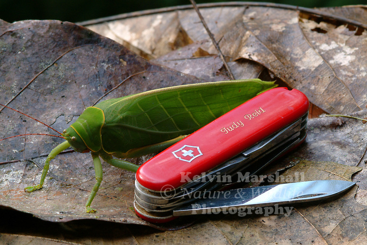 Giant Katydid (Pseudophyllus hercules) This leaf-like giant katydid occurs in the canopy of lowland rainforests in Borneo.