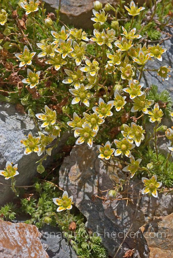 Moos-Steinbrech, Moossteinbrech, Moosartiger Steinbrech, Saxifraga bryoides, axifraga aspera subsp. bryoides, Mossy saxifrage