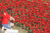 London, UK. 30 July 2014. A field of ceramic poppies is being planted by volunteers in the moat of the Tower of London. It will finally consist of 888,246 poppies, each representing a British or Colonial soldier fallen during the First World War.