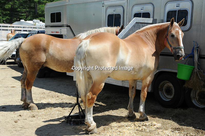 Pair of draft horses by trailer at Cheshire Fair in Swanzey, New Hampshire USA