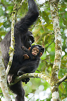 Wild Chimpanzee, Kibale National Forest, Uganda, East Africa