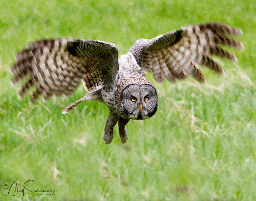 """The Great Grey owl  (Strix nebulosa) has a large facial disks, also known as """"ruffs"""", helps it to focus sound, and the asymmetrical placement of their ears assists them in locating prey, because of the lack of light during the late and early hours in which they hunt. Canyon area, Yellowstone."""