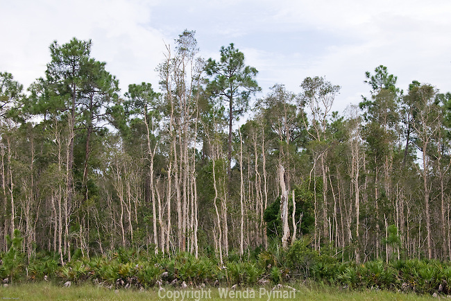 Melaleuca Trees are considered an invasive species to the Everglades.