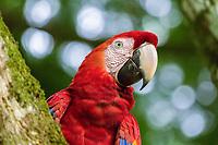 scarlet macaw, Ara macao, Alajuela Province, Costa Rica, Central America