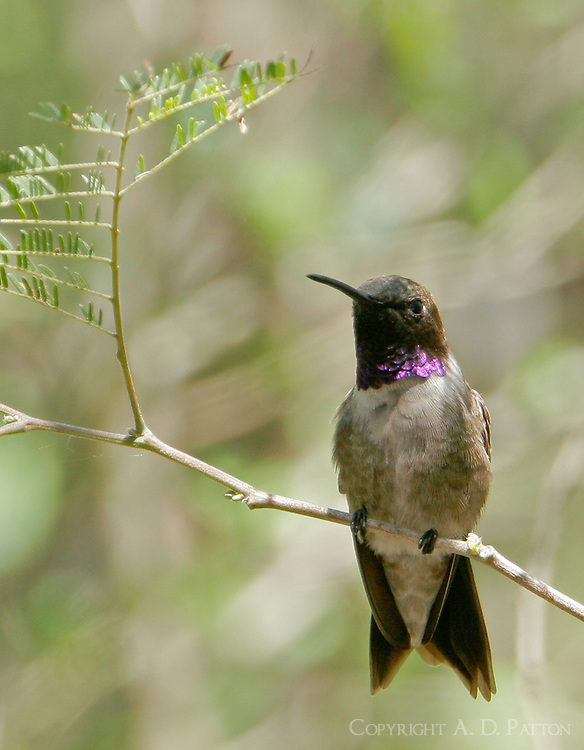 Adult male black-chinned hummingbird on branch