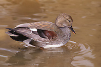 534559004 a wild drake gadwall anas strepera stands in a shallow pond in los angeles county california