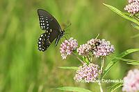 03029-01511 Spicebush Swallowtail (Papilio troilus) on Swamp Milkweed (Asclepias incarnata) Marion Co. IL