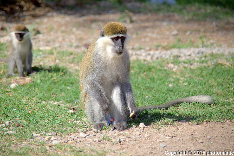 blue ball monkeys